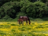 Horses in Buttercups